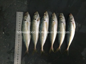 New Fish Round Scad for Sale (14-18cm) pictures & photos