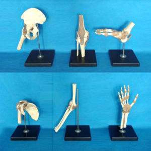 Medical Teaching Human Skeleton Body Parts Model (R020901) pictures & photos
