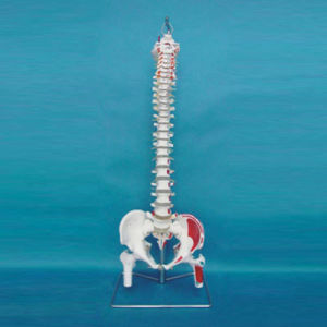 Medical Teaching Human Spine Vertebra Labeled Skeleton Model (R020712) pictures & photos