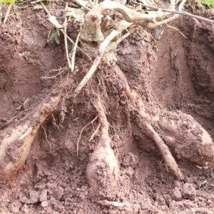 Kudzuvine Root Extract (Pueraria lobata) : Puerarin 60%--99%, Isoflavones 40% pictures & photos