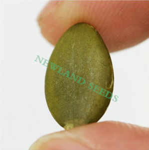 Green Pumpkin Seeds Kernels Grade a/AA for Food