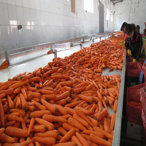 2016 Fresh Carrots /Vegetables Exporter From China pictures & photos
