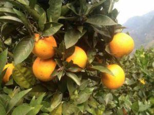 Export Professional Top Quality Navel Orange pictures & photos