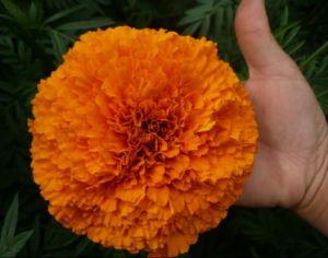Lutein Marigold Seeds