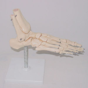Medical Teaching Human Foot Skeleton Types Model (R020920) pictures & photos