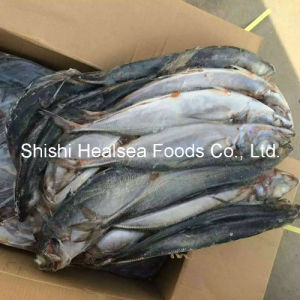 Whole Round Horse Mackerel From Chile pictures & photos