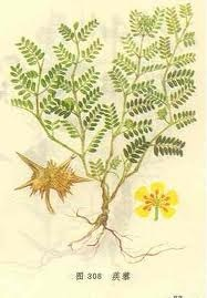 Flatstem Milkvetch Seed P. E. /Men′s Health/Pure Heabal Extract pictures & photos