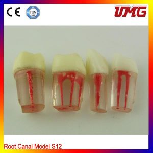 Dental Teeth and Jaw Model for Sale pictures & photos