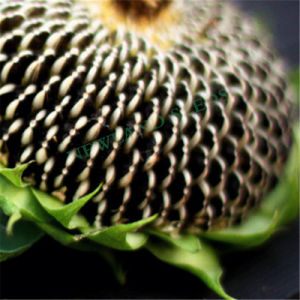 Chinese Sunflower Seeds 5009 with High Quality for Export pictures & photos
