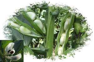 Broad Bean - 7