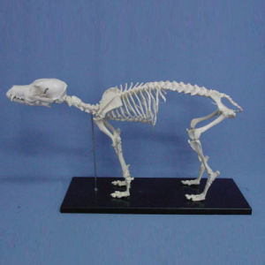 Dog Skeleton Anatomic Domotration Model pictures & photos