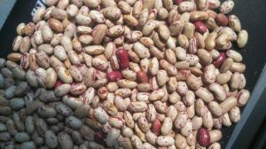 Chinese Pinto Beans, Light Speckled Kidney Bean 2017 New Crop pictures & photos