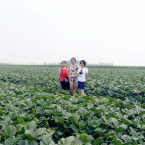 China Organic Snow Withe Wholesale Pumpkins Seeds Price with 11cm/12cm/13cm/14cm pictures & photos