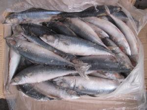 A Grade Scomber Scombrus Pacific Mackerel pictures & photos