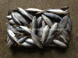 14-18PCS/Kg Frozen Horse Mackerel pictures & photos