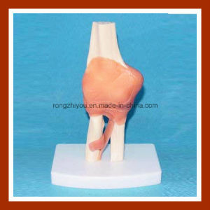 Desk Type Model Human Left Elbow Joint Anatomical Model pictures & photos
