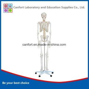 Hot Sale Teaching Model Human Skeleton Model (170cm) pictures & photos