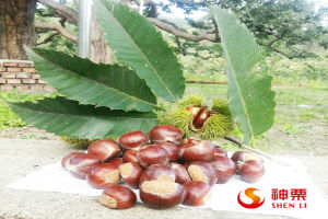 Hot Selling Fresh Chestnuts---Organic and Best Chinese Chestnuts