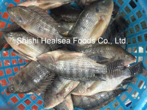 All Avaiable Frozen Tilapia From China pictures & photos