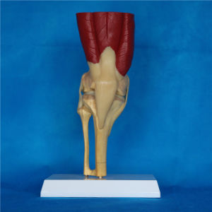 Medical Teaching Knee Joint Skeleton Anatomy Functional Model (R040105) pictures & photos