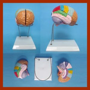 Nature Size Human Brain Model (2 Parts) pictures & photos