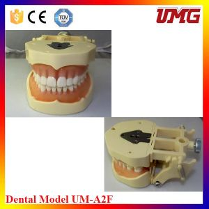 Dental Care Product Dental Model for Study pictures & photos