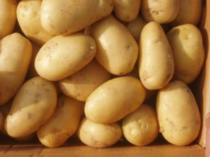New Fresh Golden Potato pictures & photos