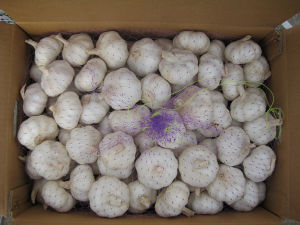 Fresh Garlic Pure White and Normal White pictures & photos