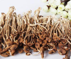 Edible Fungus Yuewei Tea Tree Mushroom(Agrocybe Aegerita