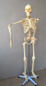 170cm Human Skeleton Education Model pictures & photos