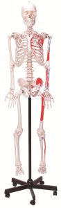 High Quality Muscular Skeleton Anatomical Model