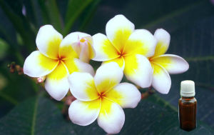 Frangipani Fragrance Oil for Candle/Wax