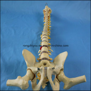 Life Size Human Spine Vertebral Model with Femur Heads for Medical Supply pictures & photos