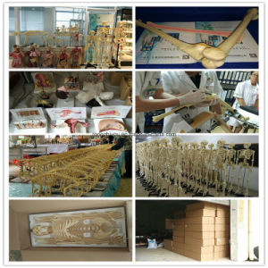 Biological Teaching Animal Skeleton Model of Dog Elbow Joint pictures & photos