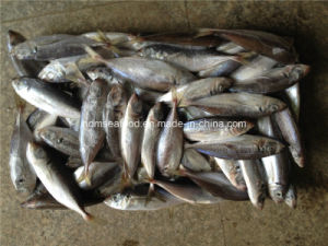 Frozen Big Eye Scard Fish (Japanese jack mackerel) pictures & photos