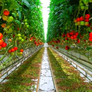 China Agricultural Plastic Covered Tunnel Film Greenhouse for Vegetable pictures & photos
