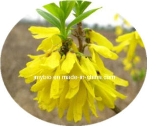Relief of Depressive Disorder 100% Natural Fructus Forsythia Extract/ Phillyrin pictures & photos
