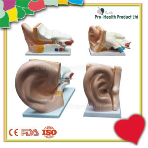 Human Amplification 5 Times Education Medical Teaching 3D Anatomy Ear Model pictures & photos