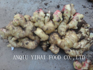 New Crop Fat Ginger in China