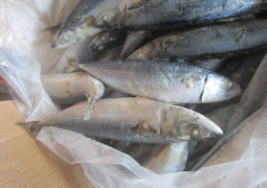 New Arrive Whole Round Japanish Mackerel Fish pictures & photos
