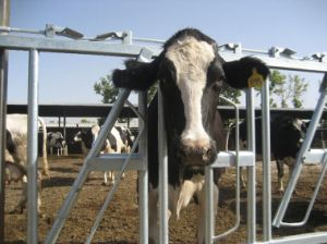 Hot Dipped Galvanized Cattle Headlock Panels pictures & photos