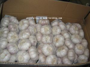 Fresh Red Garlic