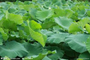 Lotus Leaf Extract/Nuciferine 2% pictures & photos