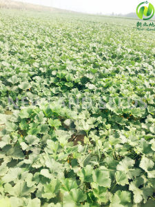 Green Gws Pumpkin Seeds AA to Europe and Amercial pictures & photos