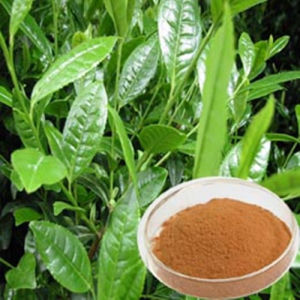 Cure Gastric Cancer Herb: Catechu Extract/Catechin 10% pictures & photos