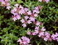 High Quality Thyme Extract on Sell pictures & photos