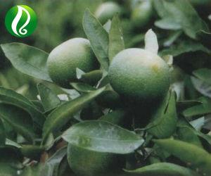 Citrus Aurantium Extract Powder Synephrine 98% pictures & photos