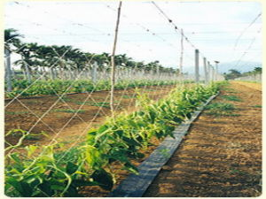 Climbing Plant Support Mesh/Gardening Net /Bean & Pea Netting pictures & photos