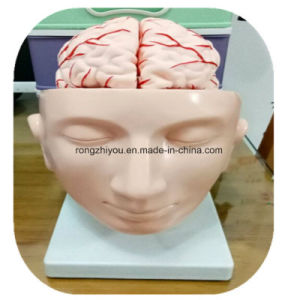 Head Brain with Arteries Anatomy Model, 9 Parts pictures & photos