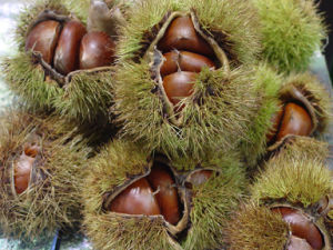 Top Quality Golden Fresh Chestnut pictures & photos